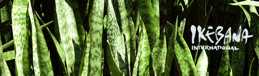 snake plant aka mother-in-law's tonque